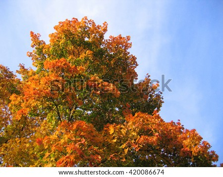beautiful autumn leaves of maple tree on sky background - stock photo