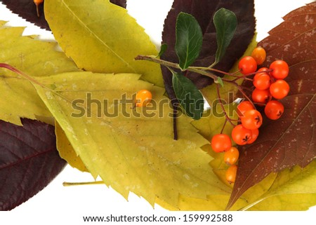 Beautiful autumn leaves with berries close up - stock photo