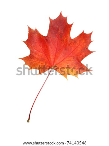 Beautiful autumn maple leave isolated on white background - stock photo