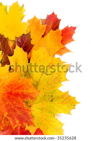 Beautiful autumn maple leaves over white