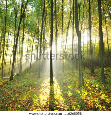Beautiful autumn morning in old beech forest Poland - stock photo