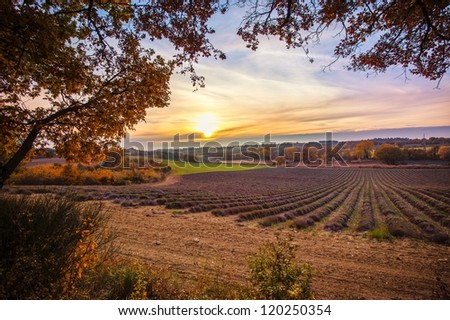 Beautiful autumnal lavender field - stock photo