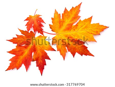 Beautiful autumnal maple leaves on white background - stock photo