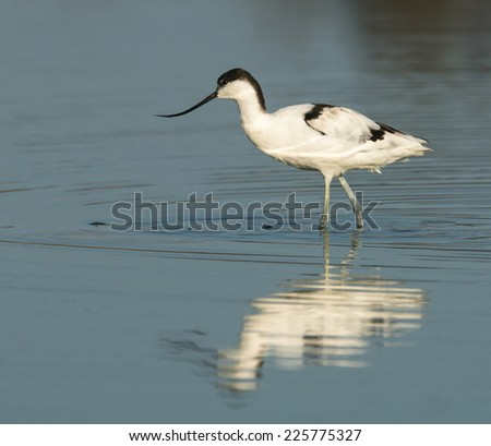 Beautiful Avocet