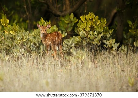 Beautiful axis deer baby from Sundarbans tiger reserve in India/Beautiful axis deer baby/Sundarbans tiger reserve in India - stock photo