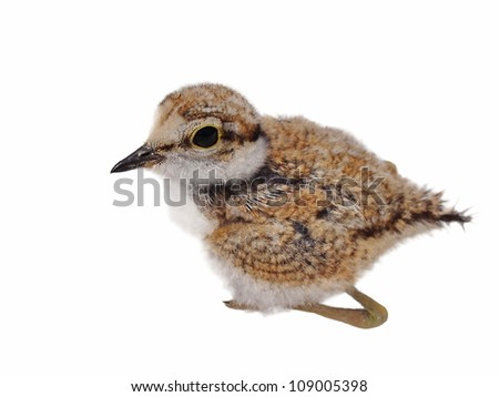 Beautiful baby Little Ringed Plover isolated on white background - stock photo