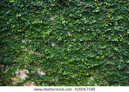 Beautiful Background from a climbing fig on the wall, Green Wall, The Green Creeper Plant on a Fence. selective focus