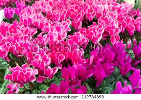 beautiful background of pink and Purple cyclamen flowers - stock photo