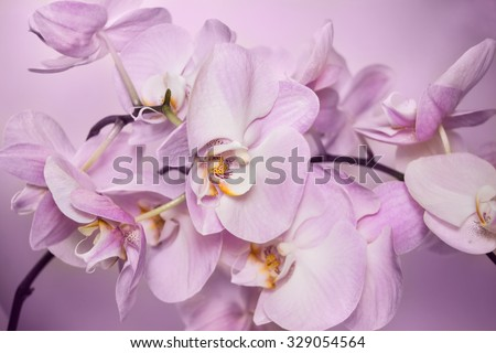 Beautiful background of raceme of light pink orchid flowers. It is a good example how perfectly orchid can flowering. Phalaenopsis orchid flower is like a tropical butterfly. - stock photo
