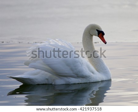 Beautiful background with a mute swan swimming in the lake - stock photo