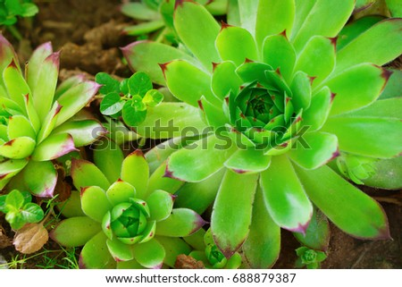 Beautiful background with green fresh tropical succulent grass plant flower leaves on garden. Top view, selective focus, close up. Toned image.