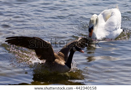 Beautiful background with the Canada goose running away from the angry mute swan - stock photo