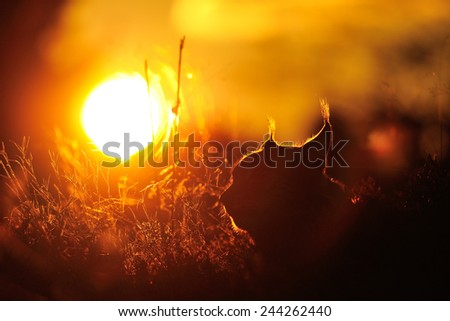 Beautiful backlight from sunset with lynx contour in the front - stock photo