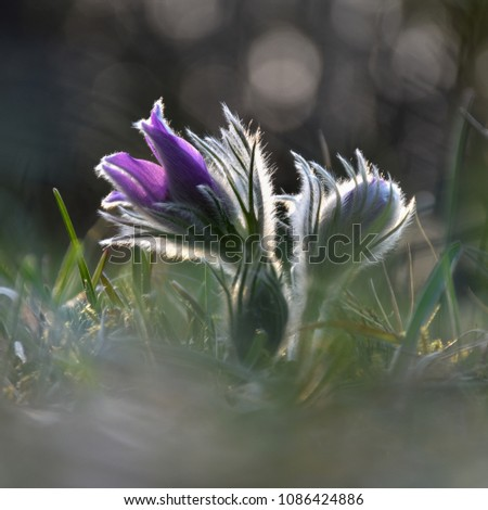 Beautiful backlit Pasqueflower with blurred foreground and background in a low angle image