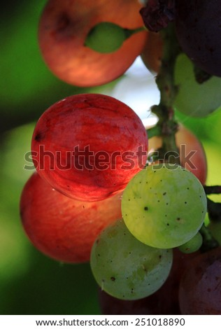 Beautiful backlit red an green grapes. - stock photo