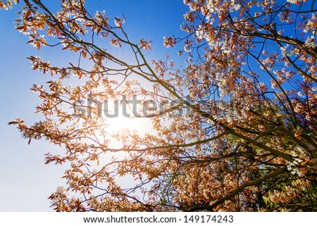 Beautiful backlit spring blossom tree against a bright blue sky with the sun