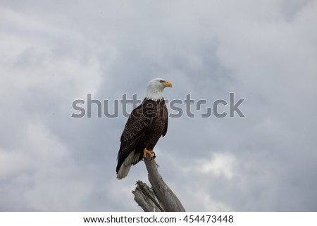 Beautiful Bald Eagle Takes Flight With Dark Clouds Behind