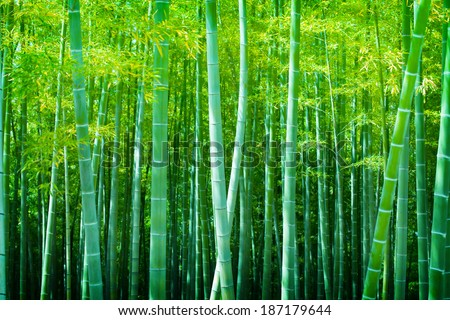 Beautiful bamboo forest, Soft green bamboo forest with young Bamboos. - stock photo