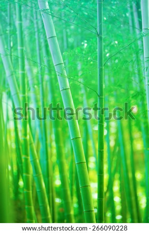 Beautiful bamboo forest, Soft green bamboo forest with young Bamboos. Intentionally shot  and processed in dreamy, fantasy like color and tone. - stock photo