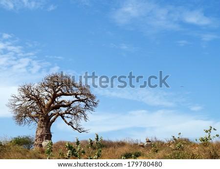 Beautiful baobab tree - Senegalese landscape - stock photo