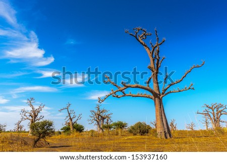 Beautiful baobab tree under the sky