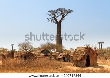 Beautiful Baobab trees and traditional houses at the avenue of the baobabs in Madagascar - stock photo
