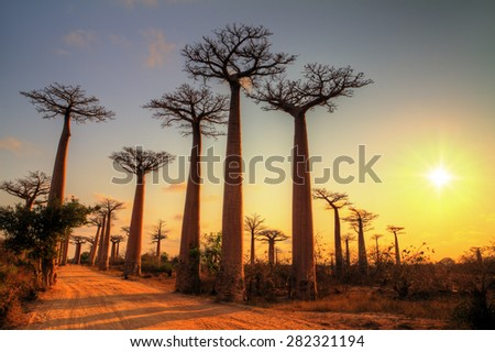 Beautiful Baobab trees at sunset at the avenue of the baobabs in Madagascar. HDR - stock photo