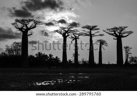 Beautiful Baobab trees at sunset at the avenue of the baobabs in Madagascar in black and white - stock photo