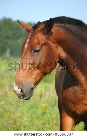 Beautiful bay horse portrait - stock photo