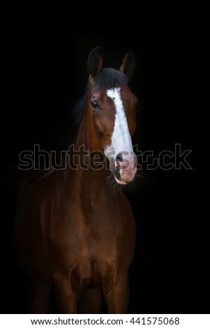 Beautiful bay horse portrait on black background - stock photo