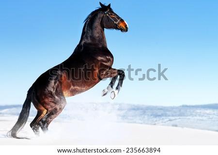 Beautiful bay horse rearing in winter field - stock photo