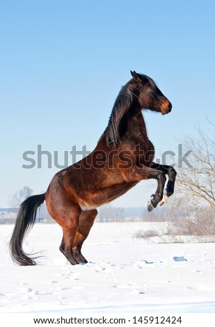 Beautiful bay horse rearing up on the meadow in winter - stock photo