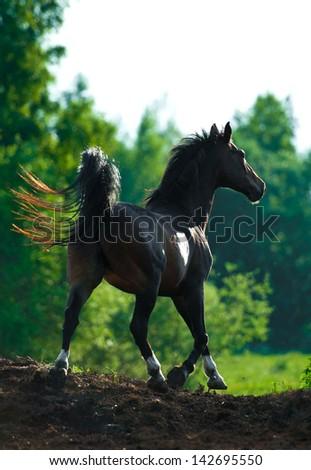 Beautiful bay horse running - stock photo