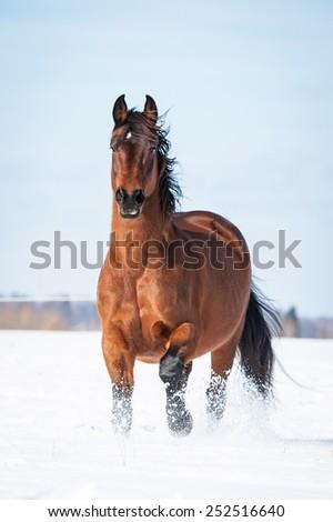 Beautiful bay horse running in winter - stock photo