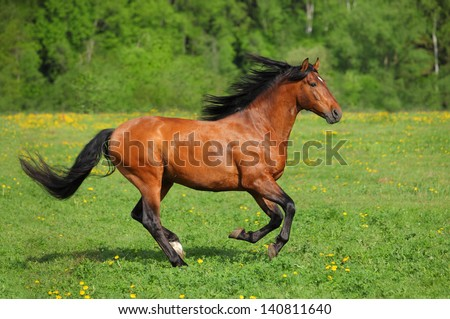 Beautiful bay horse running on the field - stock photo