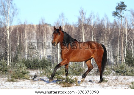 Beautiful bay horse trotting free in winter - stock photo