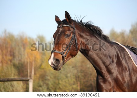 Beautiful bay horse with bridle portrait in autumn
