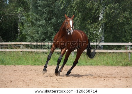 Beautiful bay latvian breed horse galloping at the field near the fence - stock photo