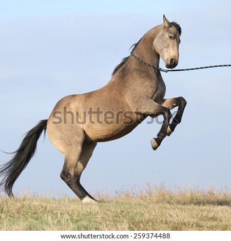 Beautiful bay quarter horse prancing on blue background - stock photo