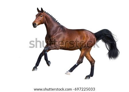 Beautiful bay stallion gallop  isolated on white background
