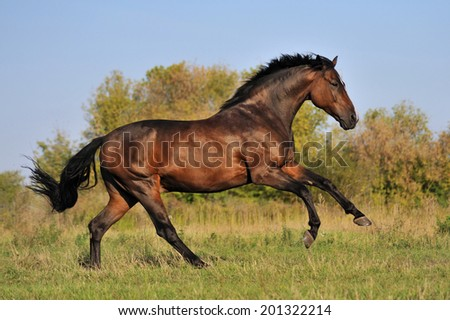 Beautiful bay stallion galloping across the field on forest background - stock photo