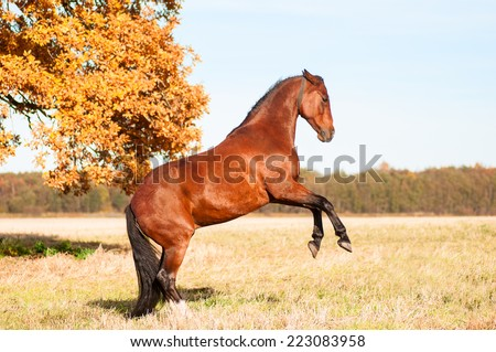 Beautiful bay stallion standing in the meadow and oak tree as background  - stock photo