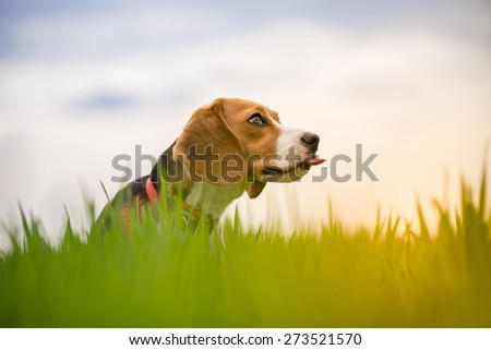 Beautiful Beagle dog portrait outdoors - stock photo