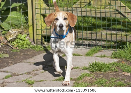 Beautiful Beagle dog standing outside on a bright sunny summer's day. - stock photo