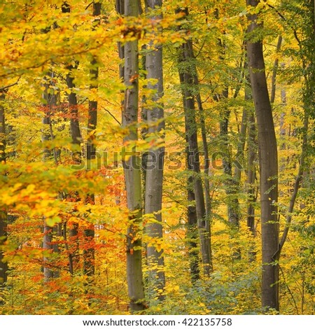 Beautiful beech tree forest in autumn with yellow and orange foliage. Heidelberg, Germany - stock photo