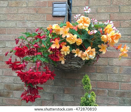 Beautiful Begonia flowers in a hanging basket against brick wall