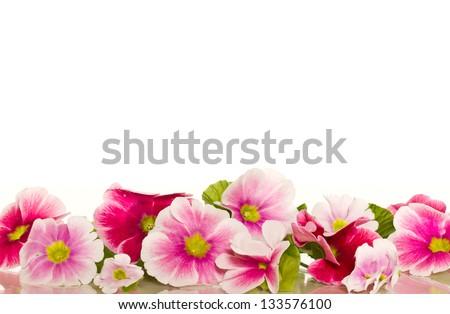Beautiful Begonia flowers on a white background - stock photo