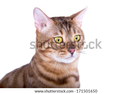 Beautiful Bengal cat is isolated on a white background - stock photo
