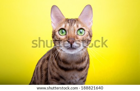 Beautiful bengalensis cat ifs isolated on a yellow background. Colorful decorations. Animal portrait - stock photo