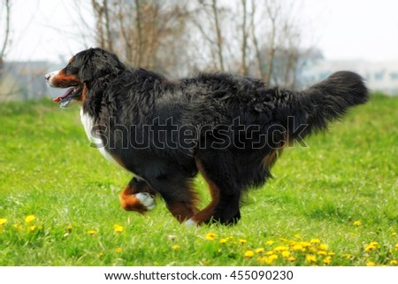 Beautiful Bernese mountain dog runs are fun in the summer outdoors